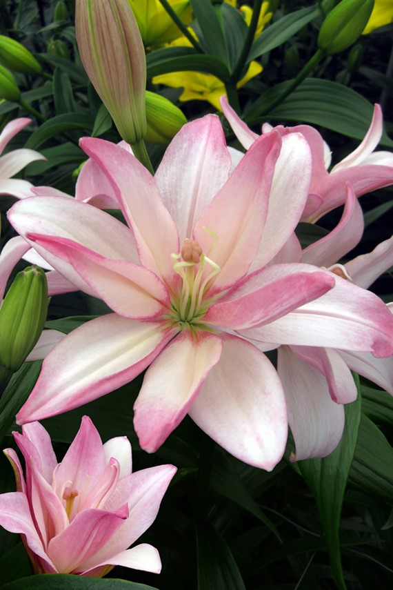 Lilium Bentley
