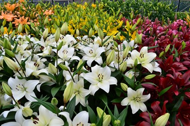 <h1><strong>Dutch Lily Days lily week moved forward to June</strong></h1>