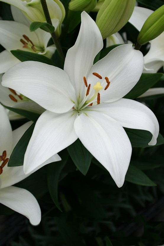 Lilium Bright Diamond