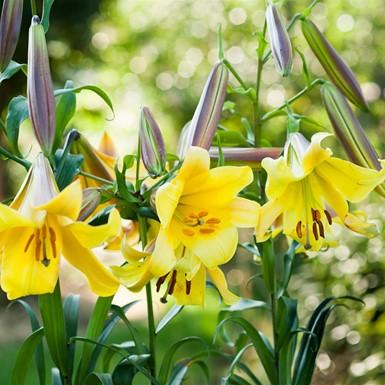 Lilium Golden Splendor