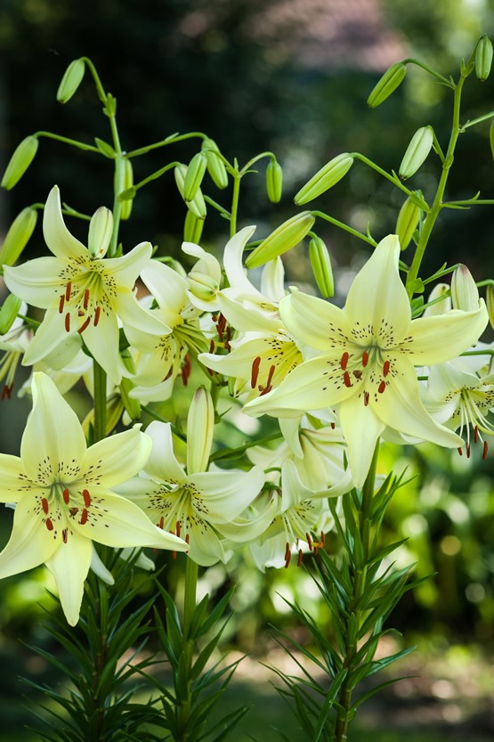 Lilium Sweet Surrender