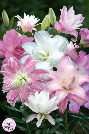 <h1>The Lily: Summer Bulb of the Year </h1>