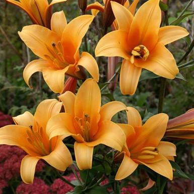 Lilium Orange Planet
