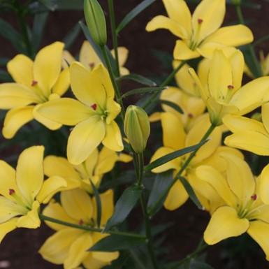 Lilium Yellow Cocotte
